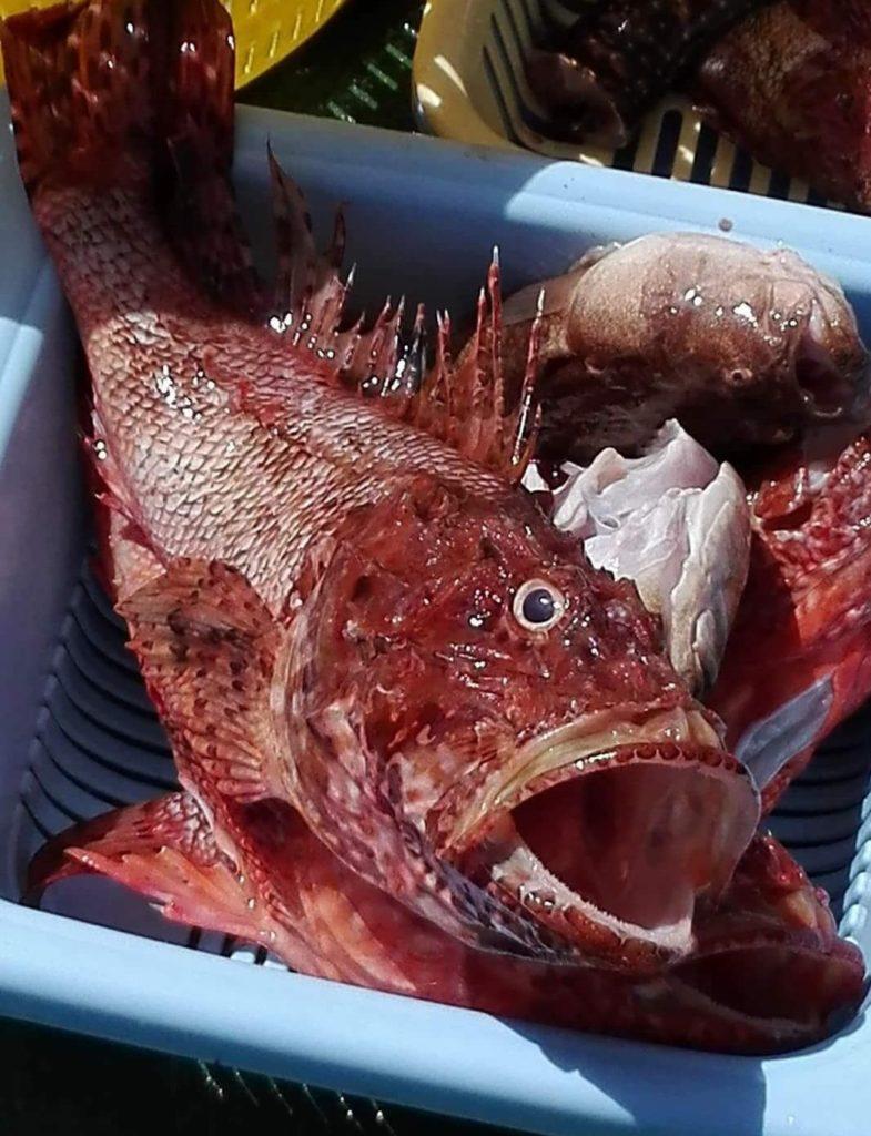 cappone, pescato del giorno pescaturismo cooperativa san macario